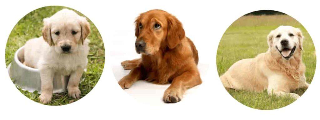 Golden Retrievers dogs