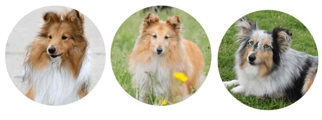 Shetland sheep dogs