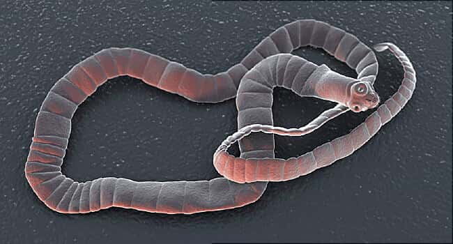 Tapeworms in puppies