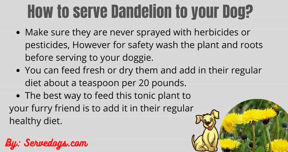 how to serve dandelion to puppy?