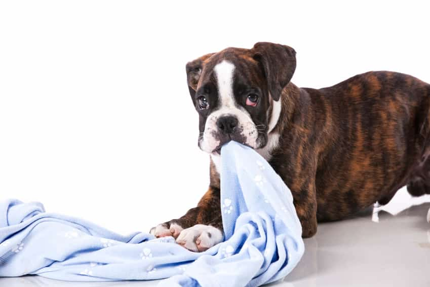 Why do dogs nibble on blankets?