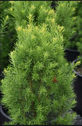Japanese Yews plant