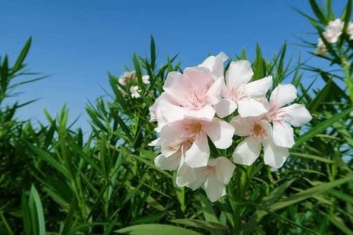 oleander plant