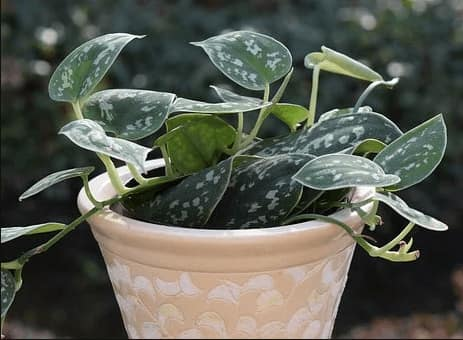 Philodendrons plant