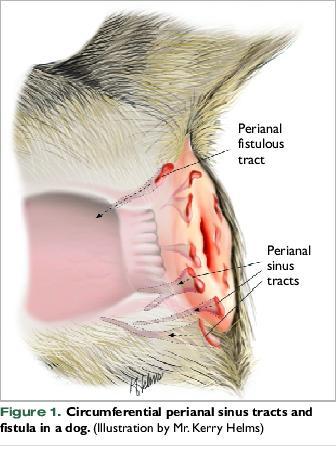 Perianal Fistula IN DOGS