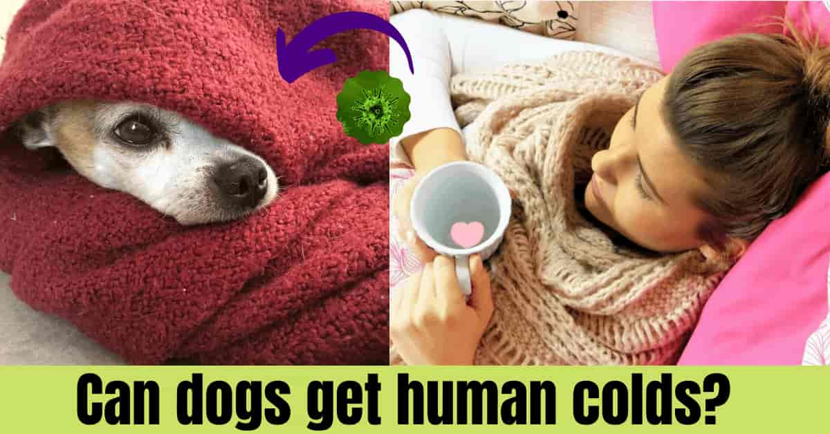 dogs get human colds?