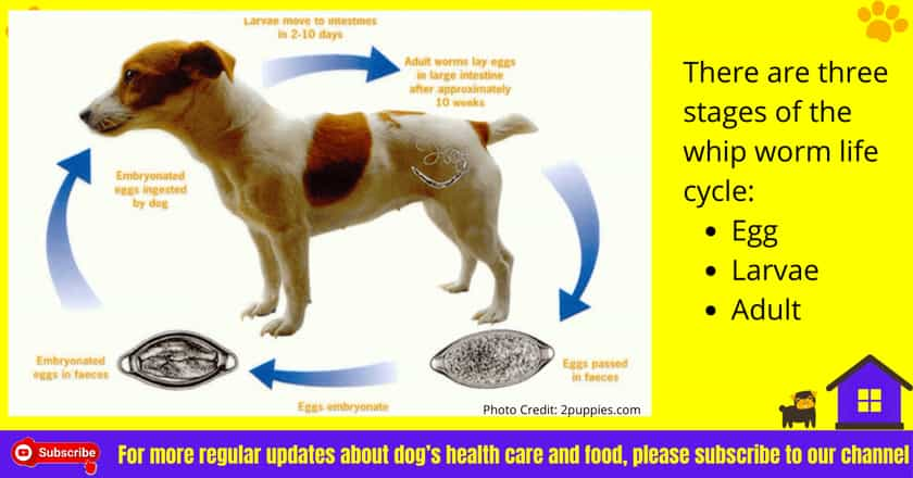 Whip worm Life cycle in dogs