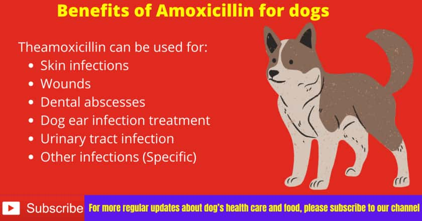 Benefits of Amoxicillin for dogs