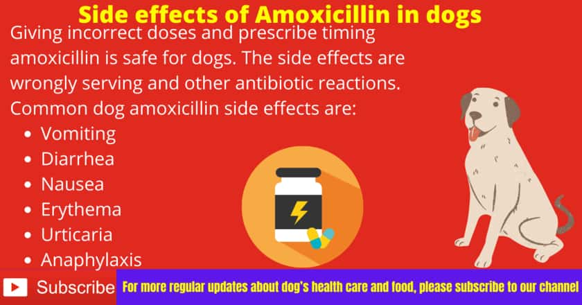 Side effects of Amoxicillin in dogs