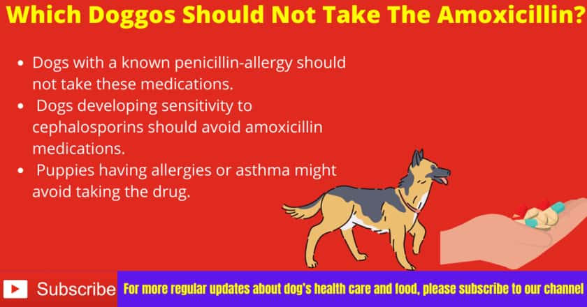 Which Dogs Should not take the Amoxicillin?