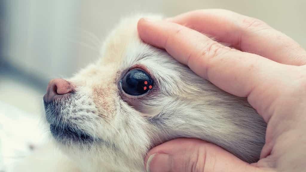 canine eye boogers