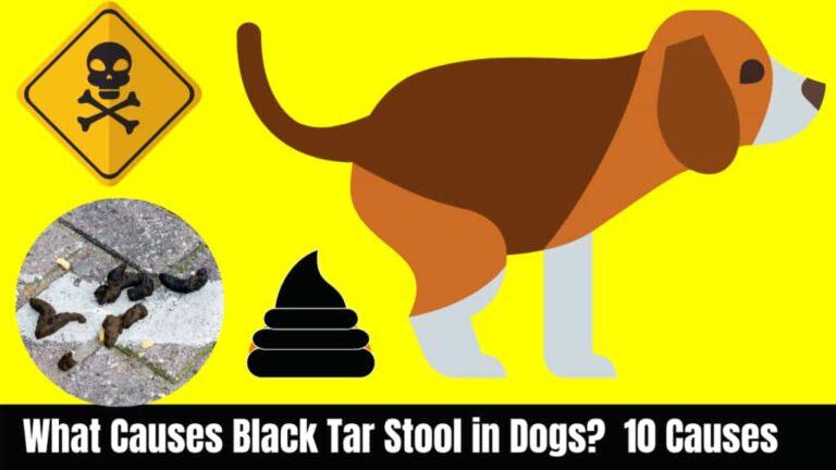 Black Stool in Dogs